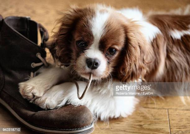 close-up of puppy biting shoelace - cavalier king charles spaniel photos et images de collection