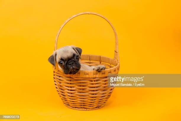 Close-Up Of Puppy In Basket Against Yellow Background