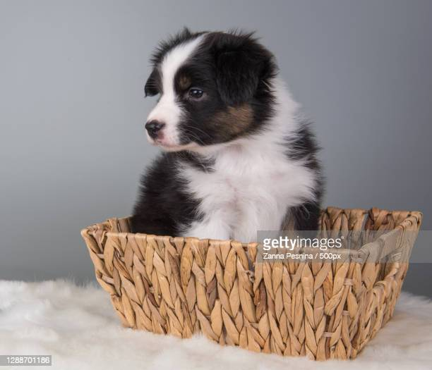 close-up of puppy in wicker basket against white background - australian shepherd puppies stock pictures, royalty-free photos & images
