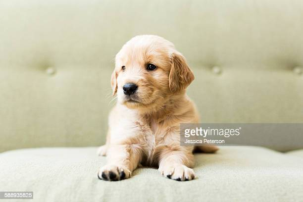 close-up of puppy lying on sofa - golden retriever stock pictures, royalty-free photos & images