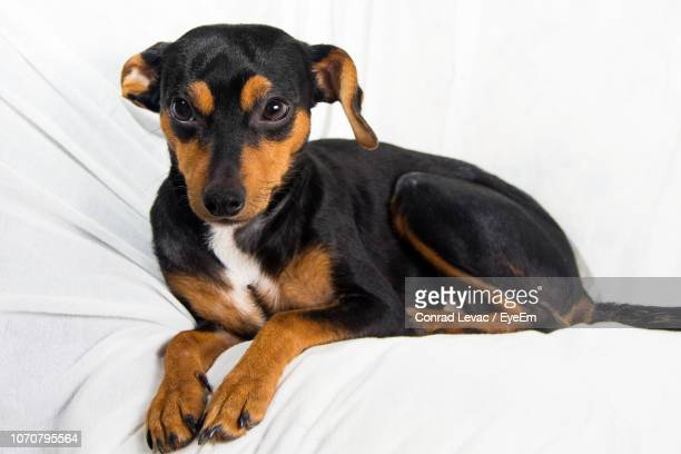 close-up of puppy on bed - hound stock pictures, royalty-free photos & images