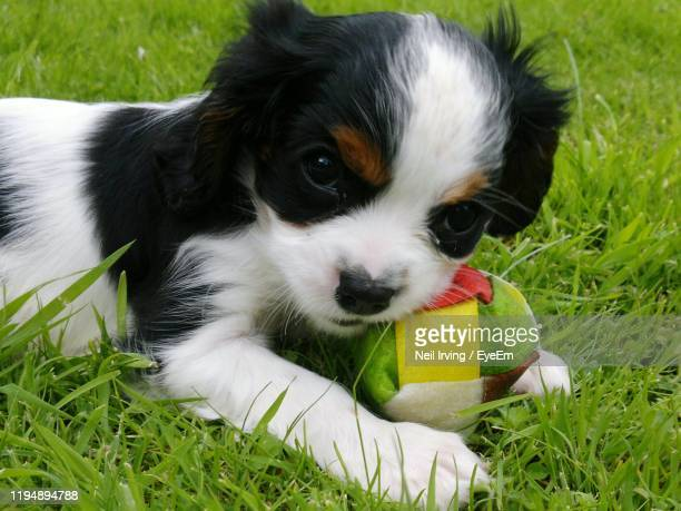 close-up of puppy on grass - cavalier king charles spaniel photos et images de collection