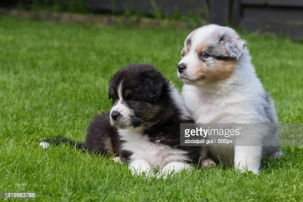 close-up of puppy on grass - australian shepherd puppies stock pictures, royalty-free photos & images
