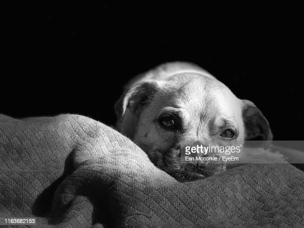 close-up of puppy over black background - puggle stock pictures, royalty-free photos & images