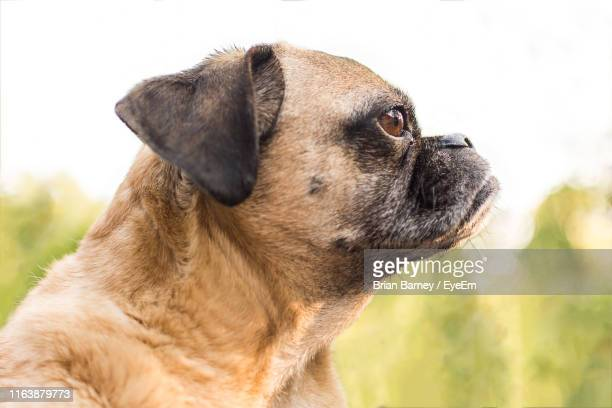 close-up of puppy - puggle stock pictures, royalty-free photos & images