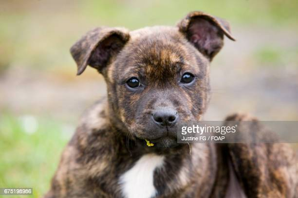 close-up of puppy - staffordshire bull terrier stock pictures, royalty-free photos & images