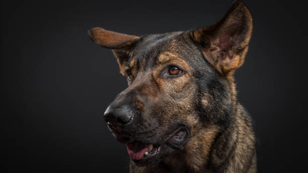 Close-up of purebred dog against black background,Mexico