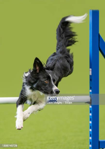 close-up of purebred dog playing on ladder against green background,united kingdom,uk - editorial stock pictures, royalty-free photos & images
