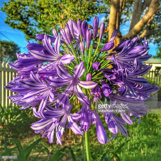 Close-Up Of Purple African Lily Flowers Blooming In Back Yard