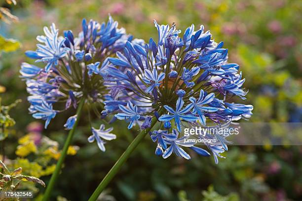 Closeup of Purple Agapanthus