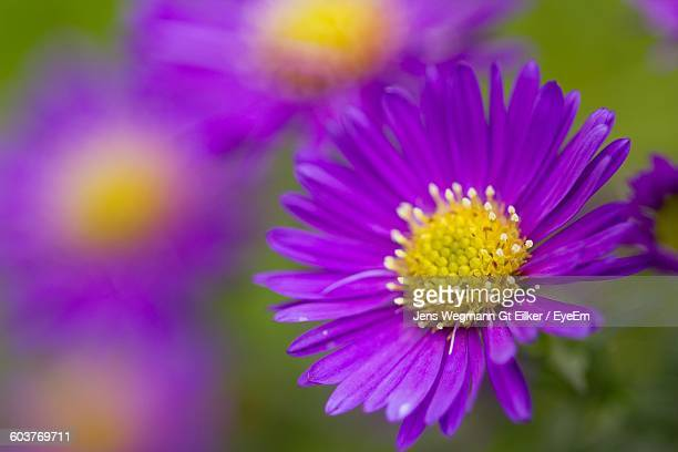 Close-Up Of Purple Aster Blooming Outdoors