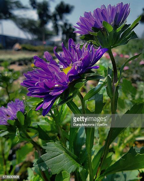 Close-Up Of Purple Asters Blooming On Field