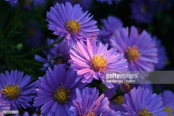 Close-Up Of Purple Asters Blooming Outdoors