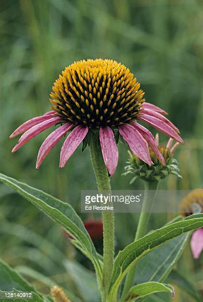 closeup of purple cone flower, echinacea purpurea, in tall grass prairie, wisconsin, usa - staadts,_wisconsin stock pictures, royalty-free photos & images