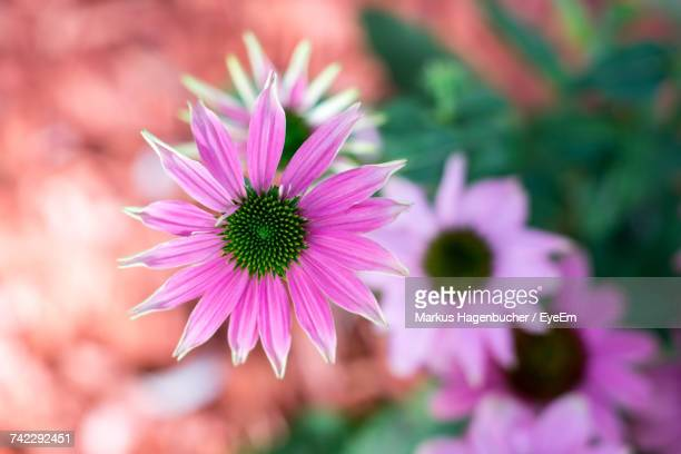 close-up of purple coneflower blooming outdoors - flower part stock pictures, royalty-free photos & images