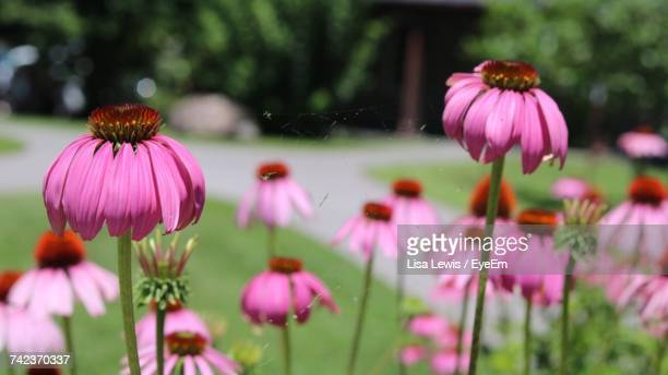 close-up of purple coneflower blooming outdoors - lisa lewis stock pictures, royalty-free photos & images