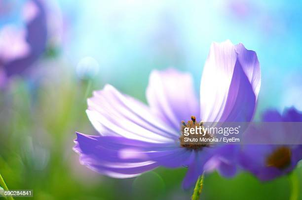 Close-Up Of Purple Cosmos Flower Blooming Outdoors