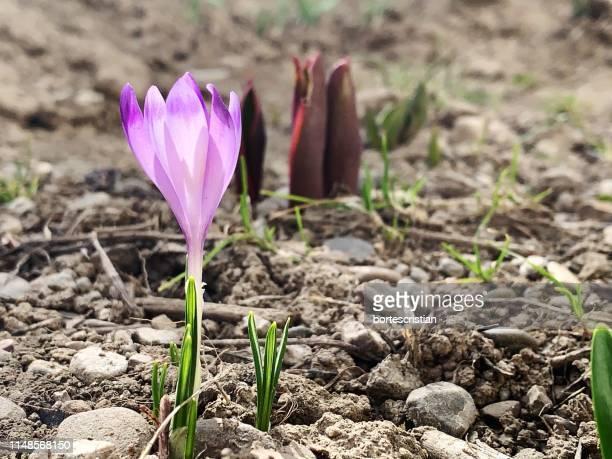 close-up of purple crocus flower - bortes cristian stock-fotos und bilder