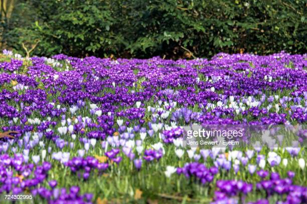 Close-Up Of Purple Crocus Flowers Growing In Field