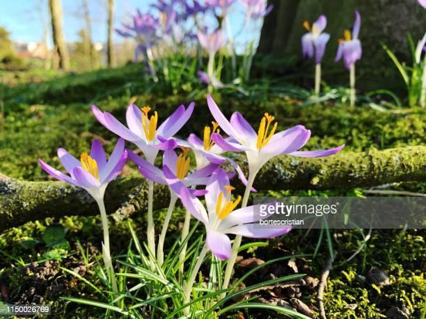 close-up of purple crocus flowers on field - bortes foto e immagini stock