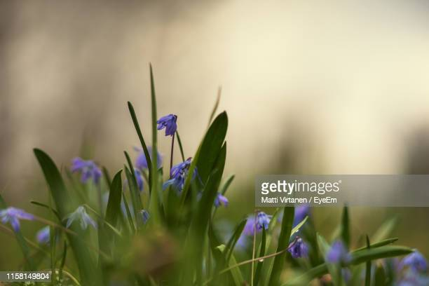 close-up of purple crocus flowers on field - jyväskylä stock pictures, royalty-free photos & images