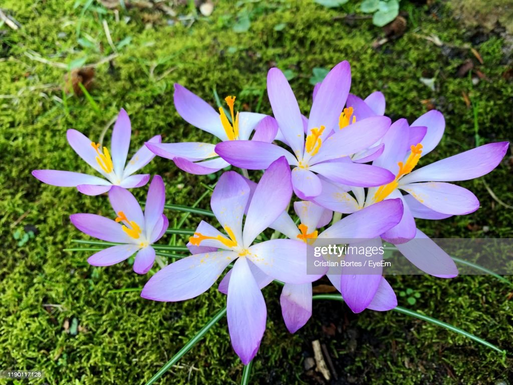 Close-Up Of Purple Crocus Flowers On Field : Stock Photo