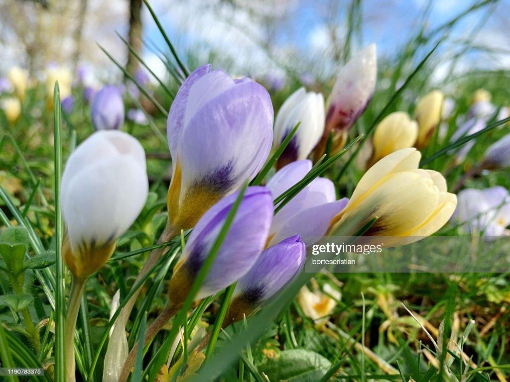 Close-Up Of Purple Crocus Flowers On Field : Stock Photo