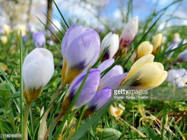 close-up of purple crocus flowers on field - bortes stock photos and pictures