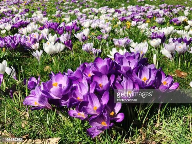 close-up of purple crocus flowers on field - bortes stockfoto's en -beelden