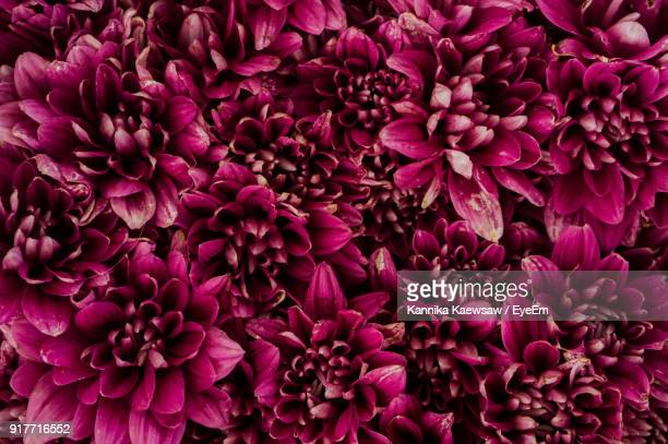 close-up of purple dahlia flowers - flower head stock photos and pictures