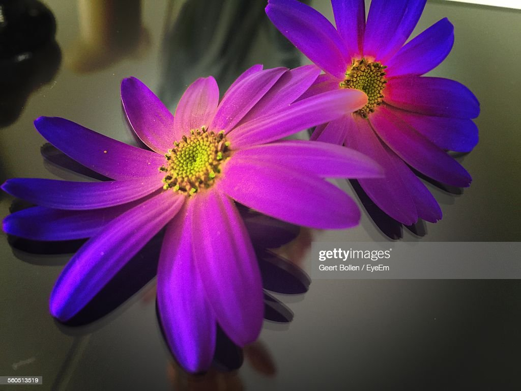 Closeup of purple daisy flowers on table stock photo getty images close up of purple daisy flowers on table stock photo izmirmasajfo