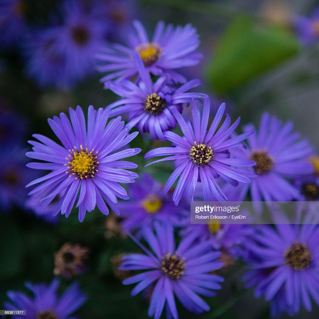 Closeup Of Purple Daisy Flowers Stock Photo Getty Images