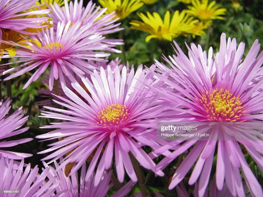 Closeup of purple daisy flowers stock photo getty images close up of purple daisy flowers stock photo izmirmasajfo