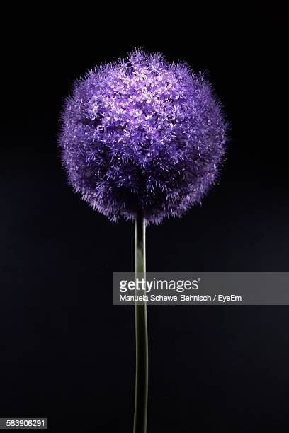 Close-Up Of Purple Flower Against Black Background