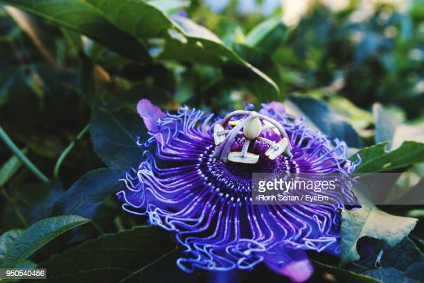 close-up of purple flower blooming outdoors - florin seitan stock pictures, royalty-free photos & images