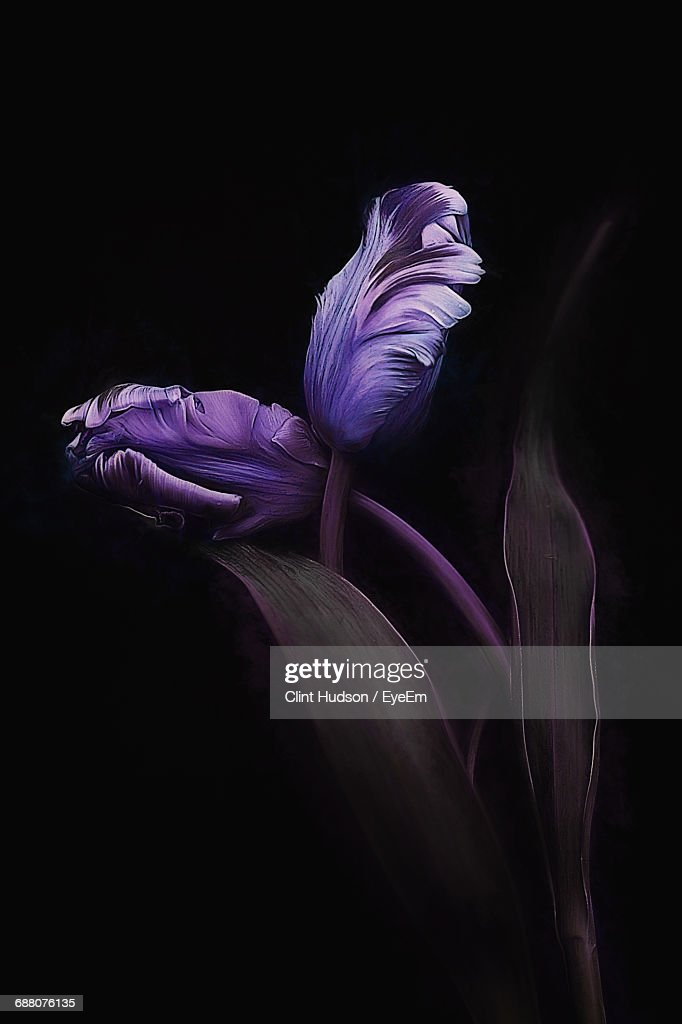 Close-Up Of Purple Flower Buds Against Black Background : Stock Photo