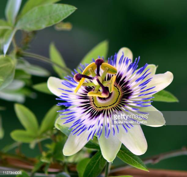 close-up of purple flower in bloom - creeper stock pictures, royalty-free photos & images
