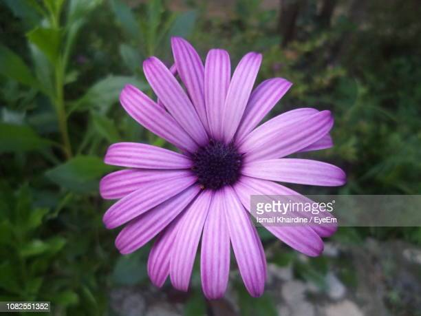 close-up of purple flower - ismail khairdine stock photos and pictures