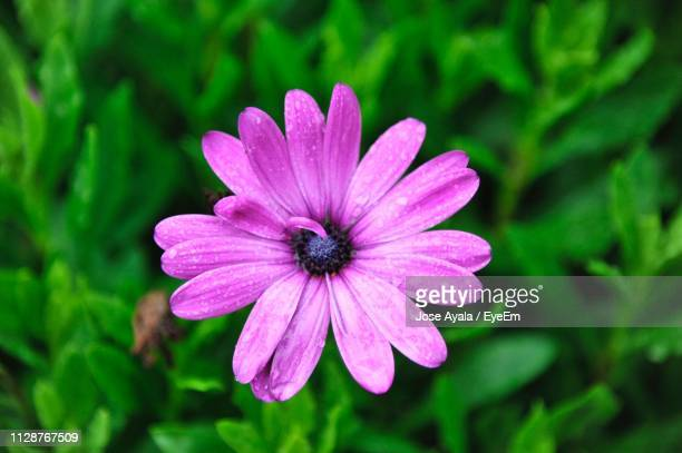 close-up of purple flower - jose ayala stock pictures, royalty-free photos & images