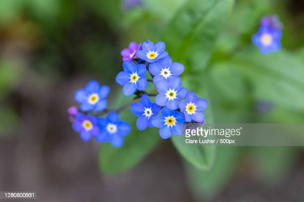 close-up of purple flowering plant, derbyshire, united kingdom - forget me not stock pictures, royalty-free photos & images