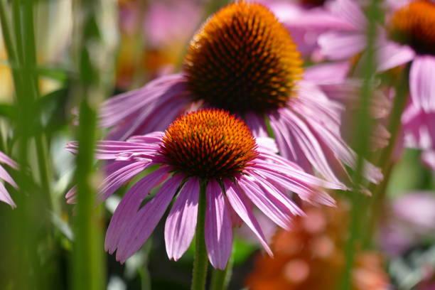 Close-up of purple flowering plant in park,Afrodita,Slovakia