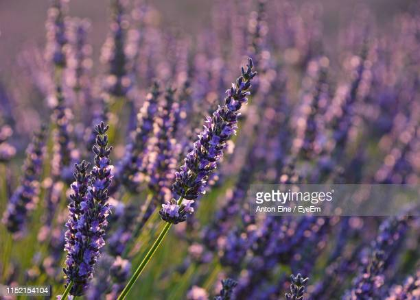 close-up of purple flowering plant on field - plateau de valensole stock photos and pictures