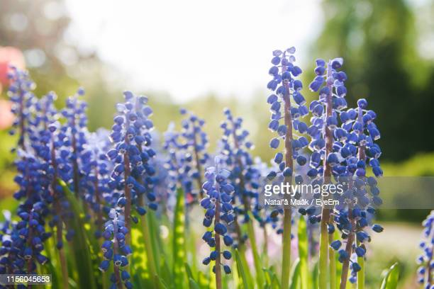 close-up of purple flowering plant on field - hyacinth stock pictures, royalty-free photos & images