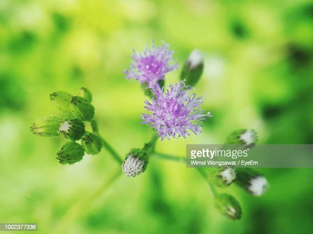 close-up of purple flowering plant - wimol wongsawat stock photos and pictures