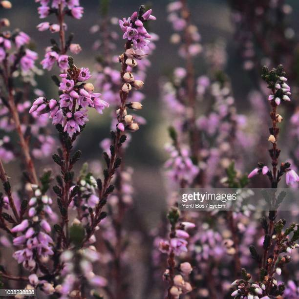 close-up of purple flowering plant - bos stock pictures, royalty-free photos & images
