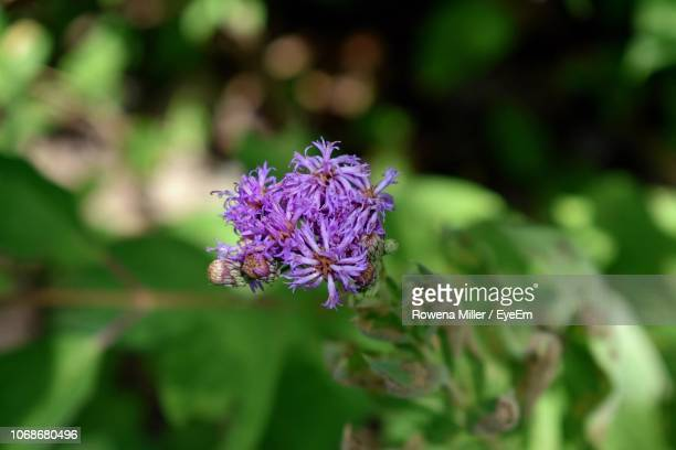 close-up of purple flowering plant - rowena miller stock photos and pictures
