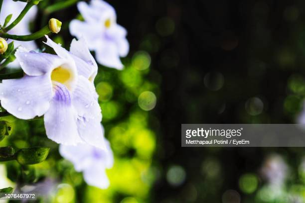 close-up of purple flowering plant - metthapaul stock photos and pictures