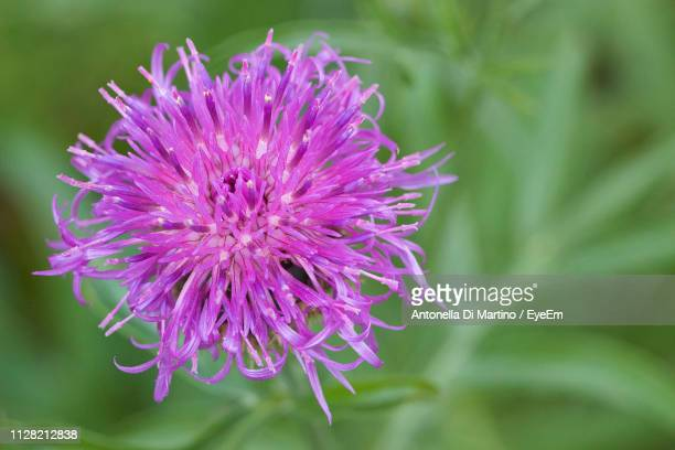 close-up of purple flowering plant - antonella stock photos and pictures