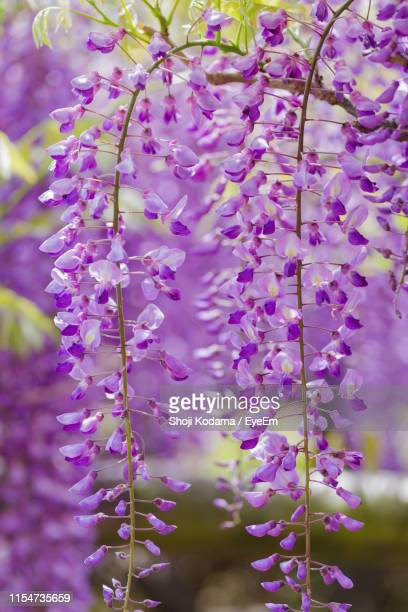 close-up of purple flowering plant - glycine photos et images de collection