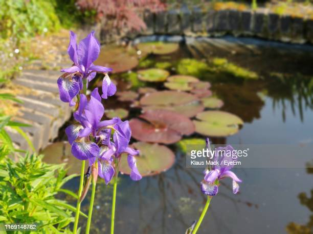 close-up of purple flowering plant - mack stock pictures, royalty-free photos & images